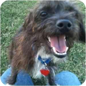 Cairn Terrier Mix Puppy for adoption in Phoenix, Arizona - Duffy