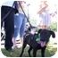 Photo 2 - Labrador Retriever Mix Puppy for adoption in Frankfort, Illinois - Leo