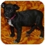 Photo 2 - Shepherd (Unknown Type) Mix Puppy for adoption in Westminster, Colorado - Willow