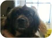 Pekingese Mix Dog for adoption in Lincolnton, North Carolina - Cassie 39540