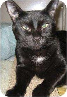 Domestic Shorthair/Domestic Shorthair Mix Cat for adoption in Schertz, Texas - Tiny