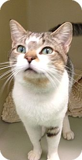 Domestic Shorthair Cat for adoption in South Haven, Michigan - Ludwig