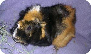 Guinea Pig for adoption in Fullerton, California - Betsy
