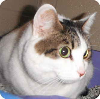 Domestic Shorthair Cat for adoption in Jackson, Michigan - Princess Butterfly