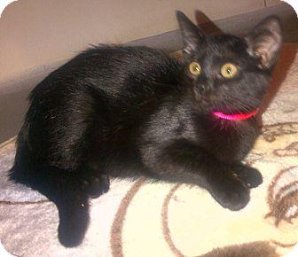 Domestic Shorthair Cat for adoption in Columbus, Georgia - Godiva