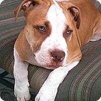 Adopt A Pet :: Champ - WARREN, OH