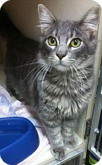 Domestic Mediumhair Cat for adoption in Westminster, California - Sal