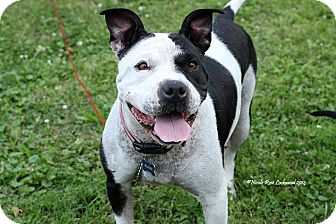 Shar Pei/Boston Terrier Mix Dog for adoption in Flushing, Michigan - Dolly