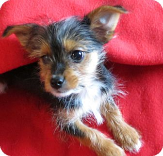 Terrier (Unknown Type, Small) Mix Puppy for adoption in Salem, New Hampshire - PUPPY JOSH