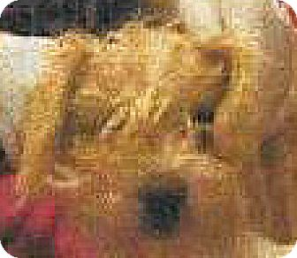 Terrier (Unknown Type, Small)/Poodle (Miniature) Mix Dog for adoption in Spokane, Washington - Shaggy