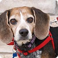 Adopt A Pet :: Scrappy II - Norman, OK