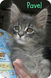 Domestic Mediumhair Kitten for adoption in Menomonie, Wisconsin - Pavel