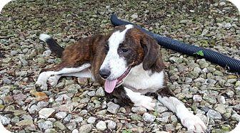 Boxer/Collie Mix Puppy for adoption in Hainesville, Illinois - Flutter