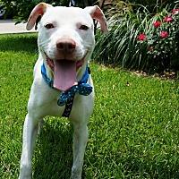 Adopt A Pet :: Snow - Lake Charles, LA
