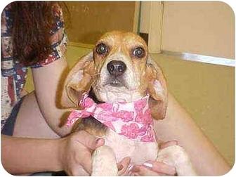 Beagle Puppy for adoption in Burnsville, North Carolina - Nikki