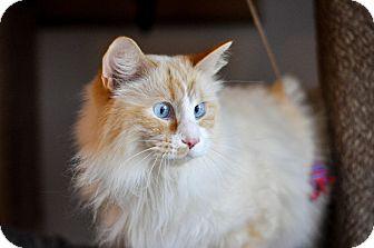 Domestic Longhair Cat for adoption in Hanna City, Illinois - Pearl