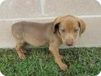 Hound (Unknown Type) Mix Puppy for adoption in Waldron, Arkansas - WOODY  URGENT!!!