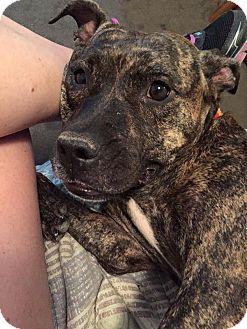 Plott Hound Mix Dog for adoption in Jacksonville, Florida - Glitterbug