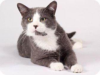 Domestic Shorthair Cat for adoption in Kingston, Ontario - Smokey