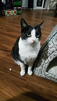 Domestic Shorthair Cat for adoption in Los Angeles, California - Stella (bonded to Luna)