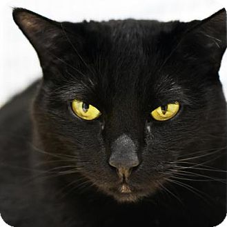 Domestic Shorthair Cat for adoption in Denver, Colorado - Moana
