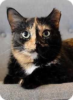 Domestic Shorthair Cat for adoption in Brooklyn, New York - Bella