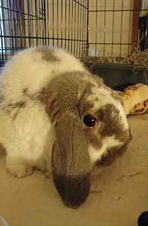 Mini Lop Mix for adoption in Wethersfield, Connecticut - Buster