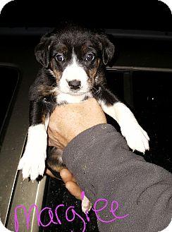 Labrador Retriever Mix Puppy for adoption in Burlington, Vermont - Margiee