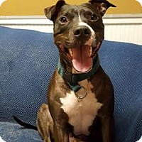 Pit Bull Terrier Mix Dog for adoption in Dallas, Texas - Mac