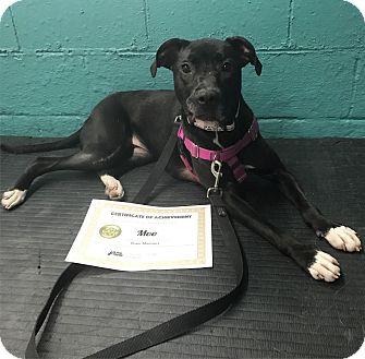 Labrador Retriever/Mixed Breed (Medium) Mix Dog for adoption in Medina, Ohio - Moo