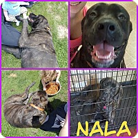 Adopt A Pet :: Nala (COURTESY LISTING) - Valley City, ND