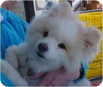 Pomeranian Mix Dog for adoption in Spring Valley, California - Puff