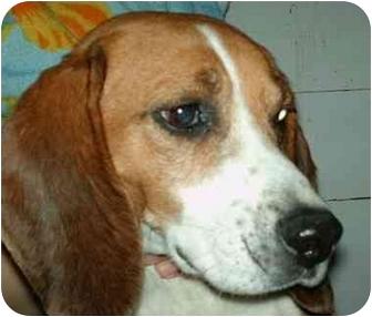 Beagle Mix Dog for adoption in Elwood, Illinois - Highway