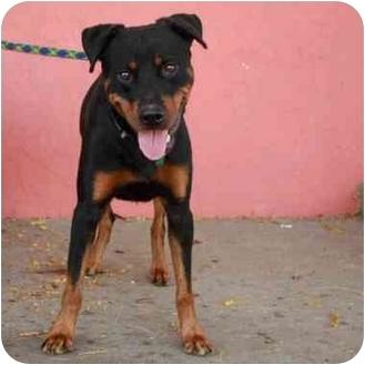 Rottweiler Dog for adoption in Denver, Colorado - Forte