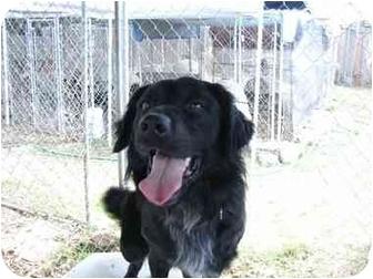 Border Collie/Labrador Retriever Mix Dog for adoption in Fair Oaks Ranch, Texas - Chip
