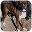 Photo 2 - Boxer Dog for adoption in Huntington, New York - Champ