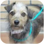 Terrier (Unknown Type, Small) Mix Dog for adoption in Wheaton, Illinois - Charlie