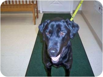 Labrador Retriever Dog for adoption in Columbiaville, Michigan - Bo