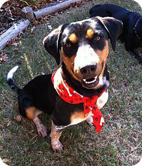 Rottweiler/Australian Cattle Dog Mix Dog for adoption in Stillwater, Oklahoma - Dottie