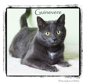 Domestic Shorthair Cat for adoption in Warren, Pennsylvania - Guinevere