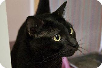 Domestic Shorthair Cat for adoption in Fort Smith, Arkansas - Jim