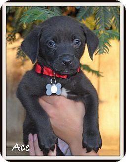 Labrador Retriever/American Pit Bull Terrier Mix Puppy for adoption in Yuba City, California - Ace