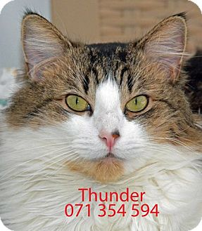 Maine Coon Cat for adoption in Diamond Springs, California - Thunder