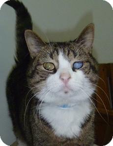 Domestic Shorthair Cat for adoption in Hamburg, New York - Lincoln
