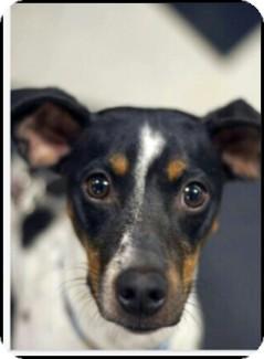 Rat Terrier Dog for adoption in Shelter Island, New York - Samson