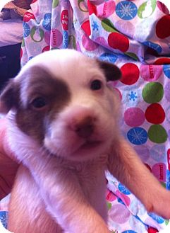 Boston Terrier/Rat Terrier Mix Puppy for adoption in Stephenville, Texas - Spot