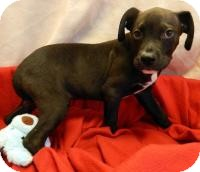 Pit Bull Terrier Mix Puppy for adoption in Kelseyville, California - Max