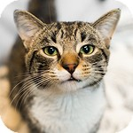 Domestic Shorthair Cat for adoption in Wheaton, Illinois - Wendell