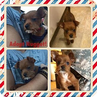Terrier (Unknown Type, Small) Mix Puppy for adoption in San Diego, California - Nugget