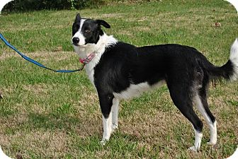 Border Collie Dog for adoption in Bedminster, New Jersey - Veda
